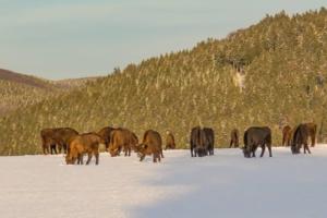 2019 01 Les bisons 1 -  Hans Georg Bette