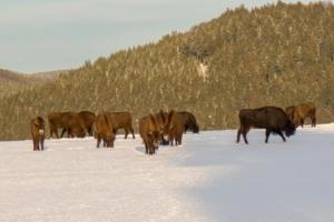 2019 01 Les bisons 2 -  Hans Georg Bette