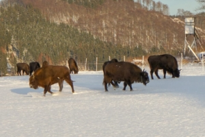 2019 01 Les bisons 3 -  Hans Georg Bette